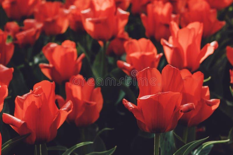 Поле тюльпана в Нидерланд Красочные красные тюльпаны в цветочном саде стоковое изображение rf