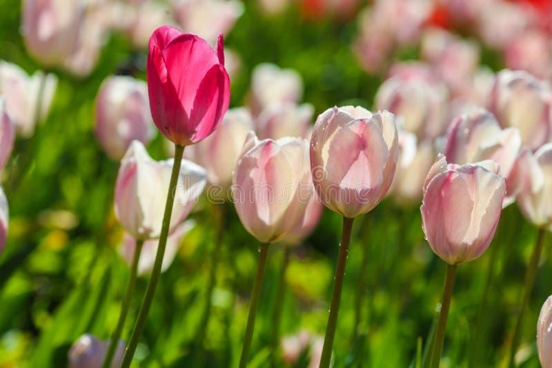 Поле тюльпанов Голландии Волшебство весны цветения Голландские цветки Красочный цветя ландшафт Нидерланд, Lisse - тюльпан стоковые изображения rf
