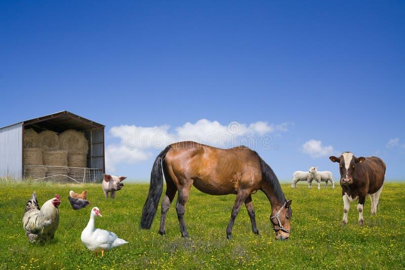 поле фермы животных пася зеленый цвет стоковые изображения rf