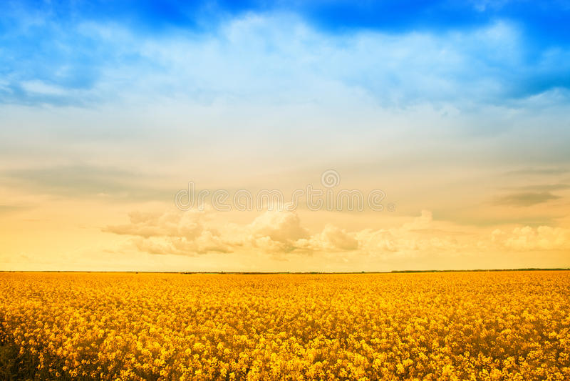 поле фермы цветет золотистый рапс стоковые фото