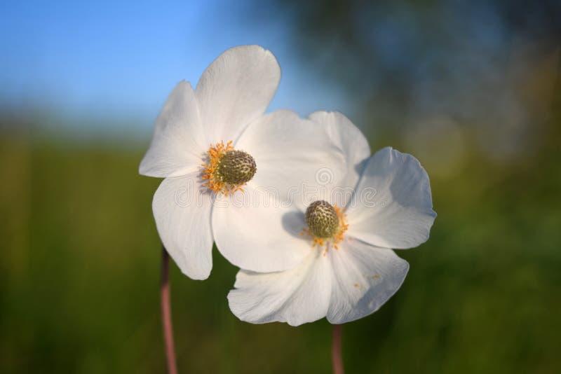 Поле флористическое Белый цветок в саде Дикие северные цветки ветрениц зацветая весной или сезон лета в Yakutia, Сибире стоковое изображение