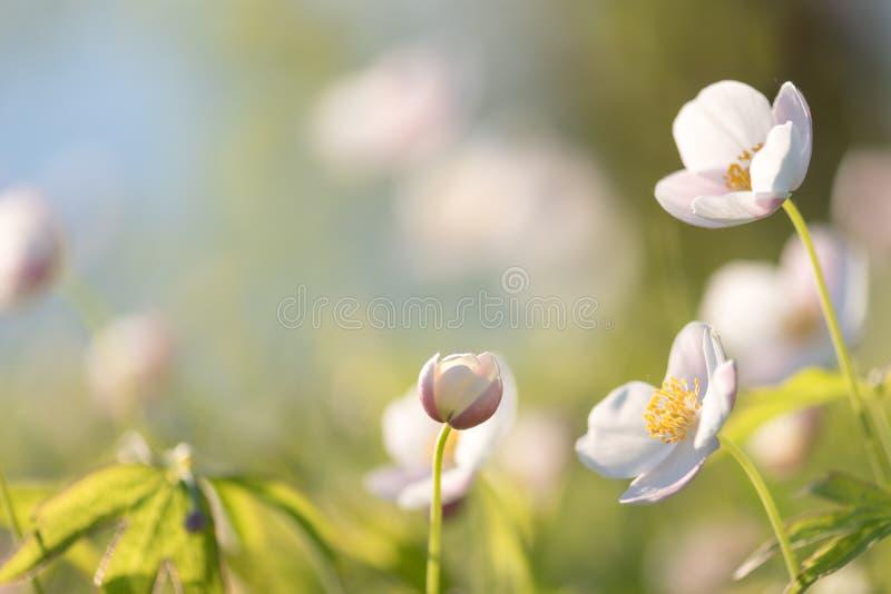 Поле флористическое Дикие северные цветки ветрениц зацветая весной или сезон лета в Yakutia, Сибире стоковые фото