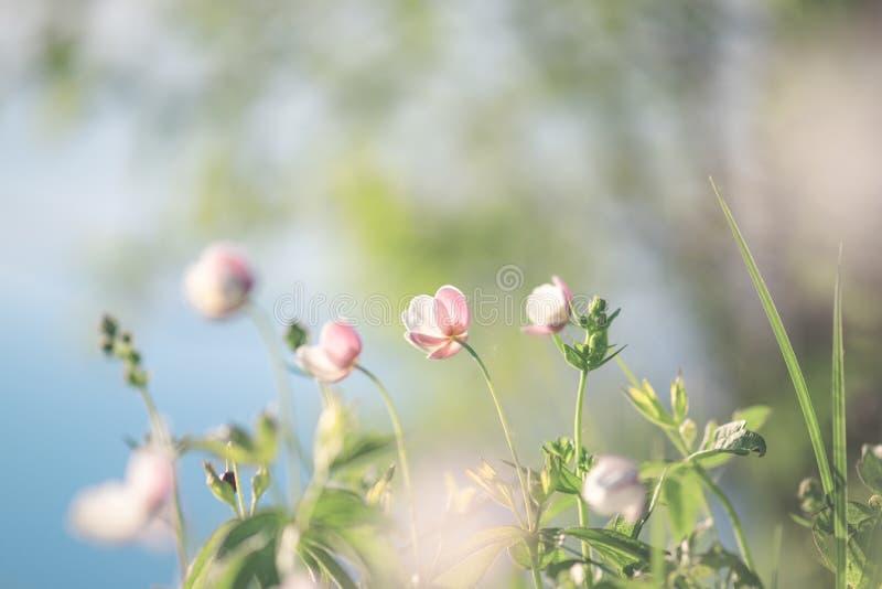 Поле флористическое Дикие северные цветки ветрениц зацветая весной или сезон лета в Yakutia, Сибире стоковые изображения