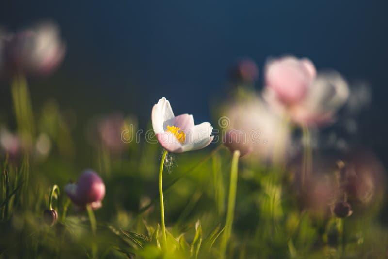 Поле флористическое Дикие северные цветки ветрениц зацветая весной или сезон лета в Yakutia, Сибире стоковое фото rf