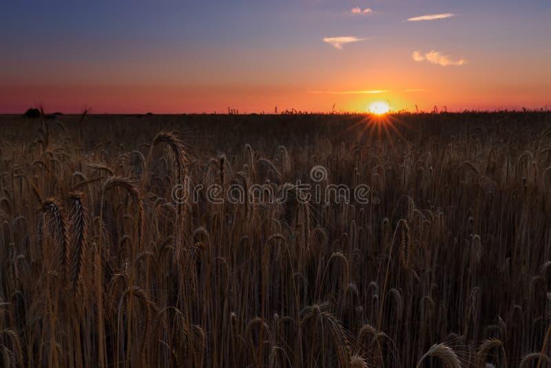 Поле хлопьев пшеницы готовое для сбора в Паленсии стоковые изображения