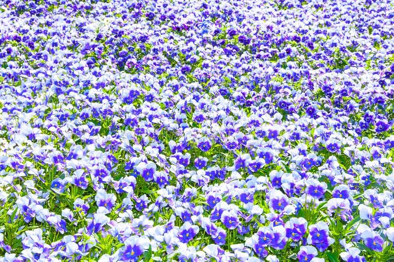 Поле цвета красивых pansies цветков голубого стоковые фотографии rf