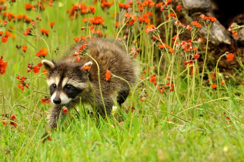 поле цветет померанцовый raccoon стоковое фото rf