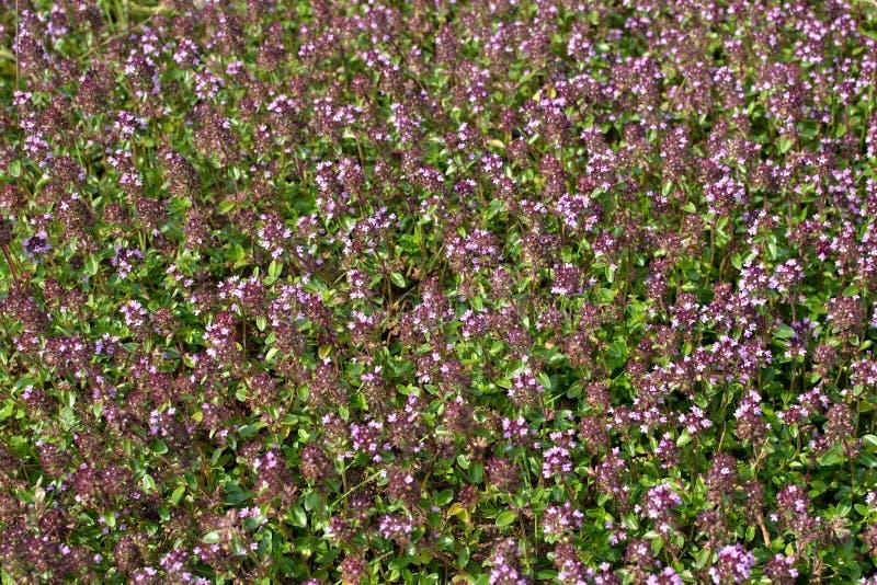 поле цветет tijm стоковое изображение rf