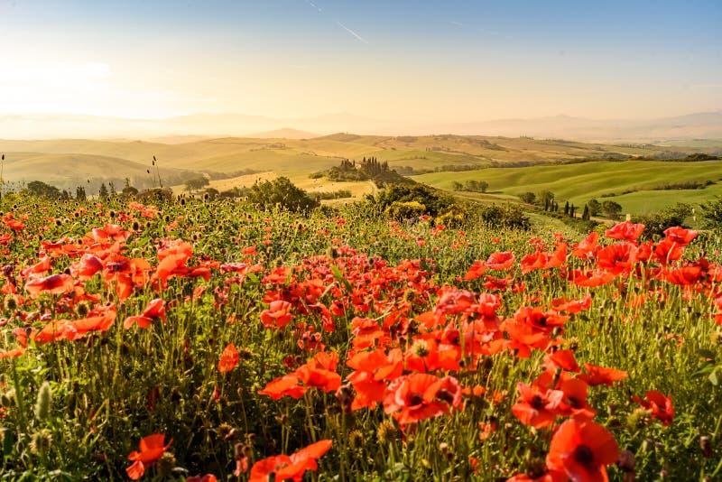 Поле цветка мака в красивом пейзаже ландшафта Тосканы в Италии, бельведере в регионе Val d Orcia - назначении Podere перемещения стоковые фото
