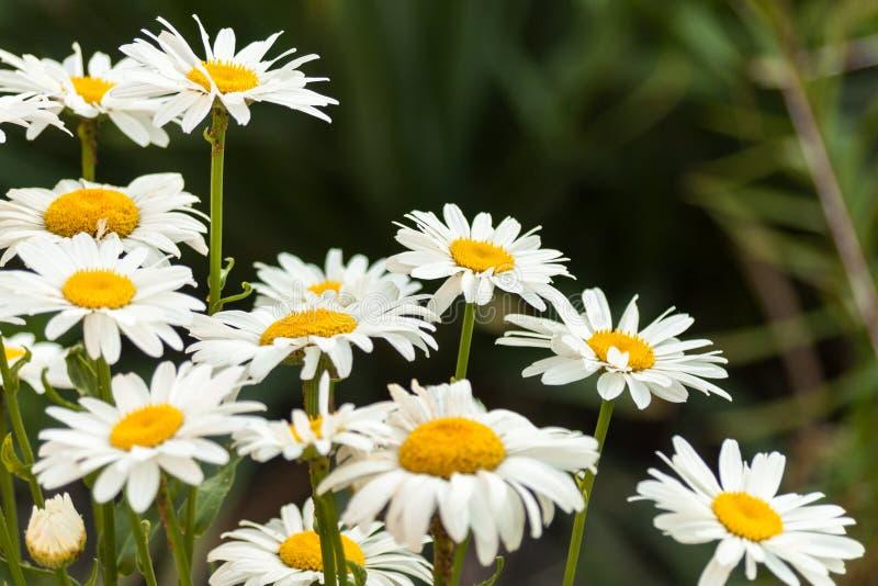 Поле цветков белой маргаритки стоцвет playnig света цветка предпосылки стоковые изображения