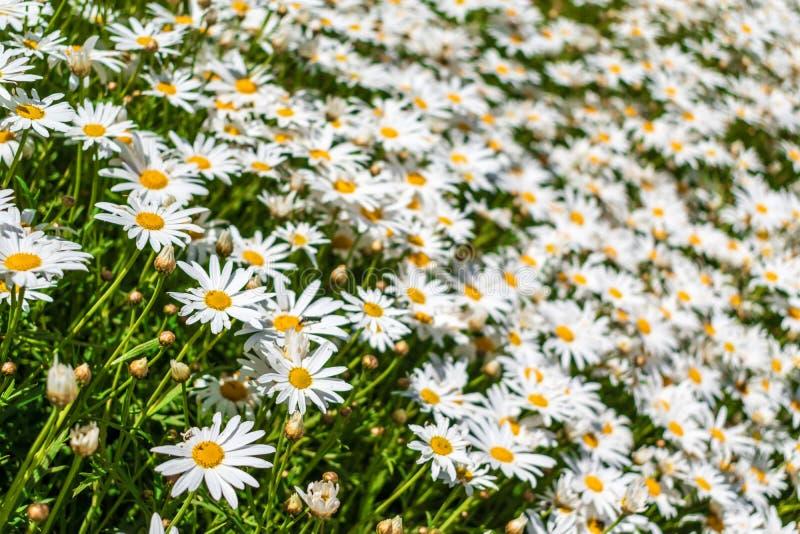 Поле цветков 1 белой маргаритки стоковые фото