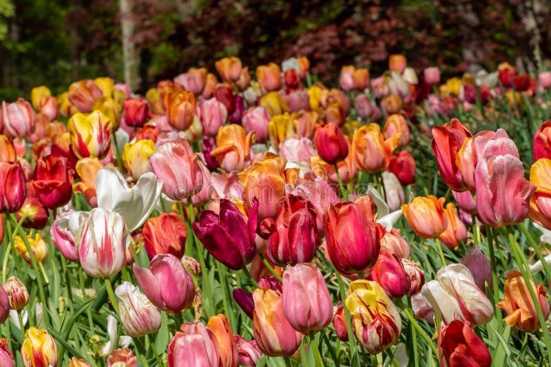 Поле цветков в северных горах Грузии стоковые фотографии rf
