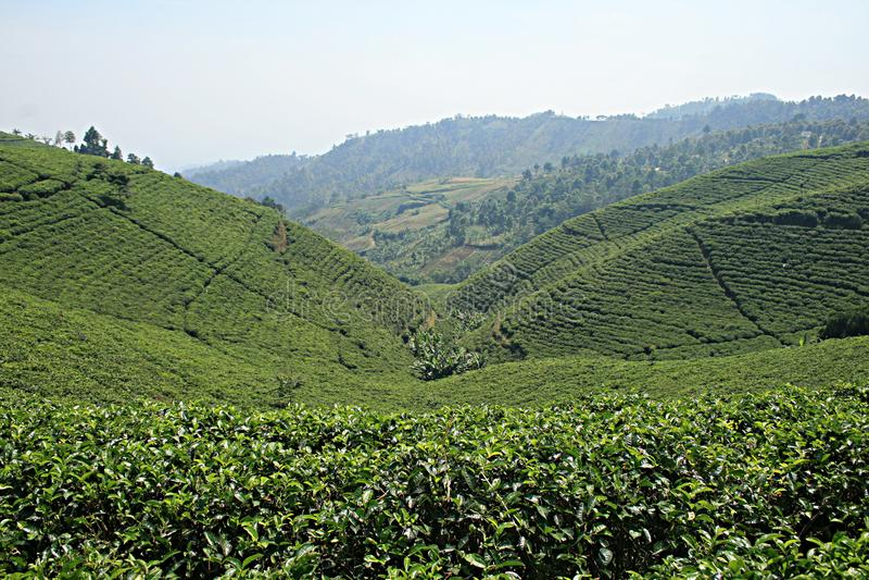 Поле чая Candi стоковое фото rf