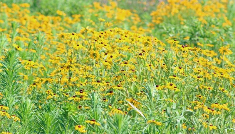 Поле черных наблюданных wildflowers Сьюзан стоковое фото