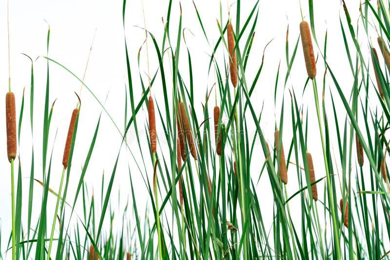 Поле angustifolia Typha Зеленая трава и коричневые цветки Cattails изолированные на белой предпосылке Листья завода плоски, очень стоковая фотография rf