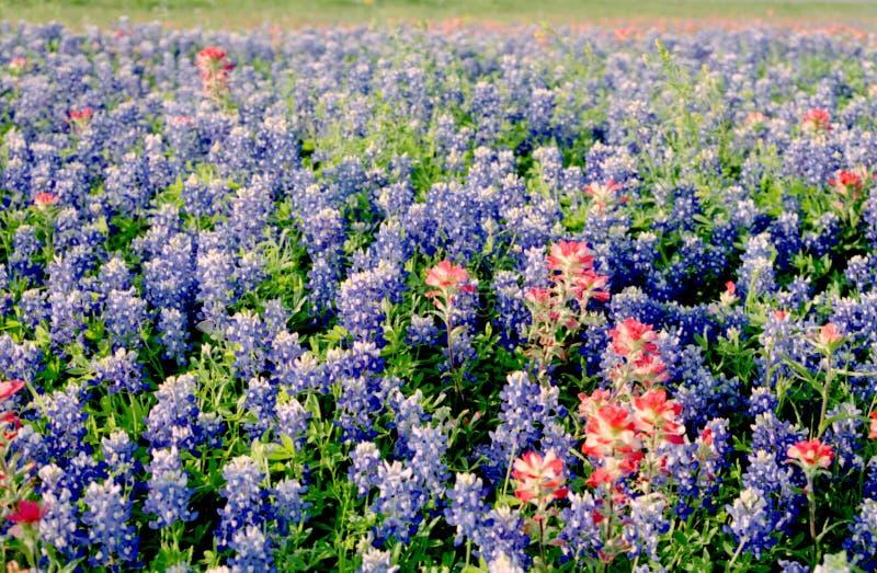 поле bluebonnets стоковое изображение rf