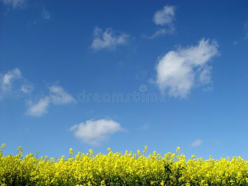 поле Canola золотистое Стоковые Изображения RF