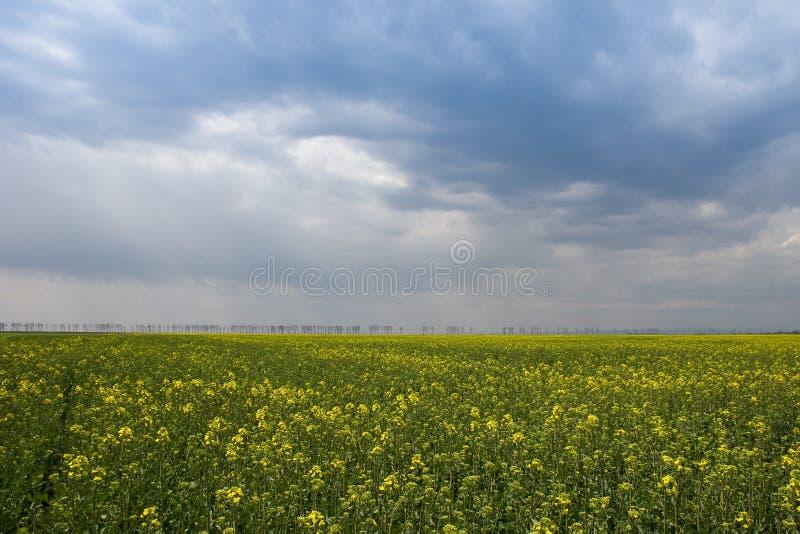 поле canola стоковая фотография