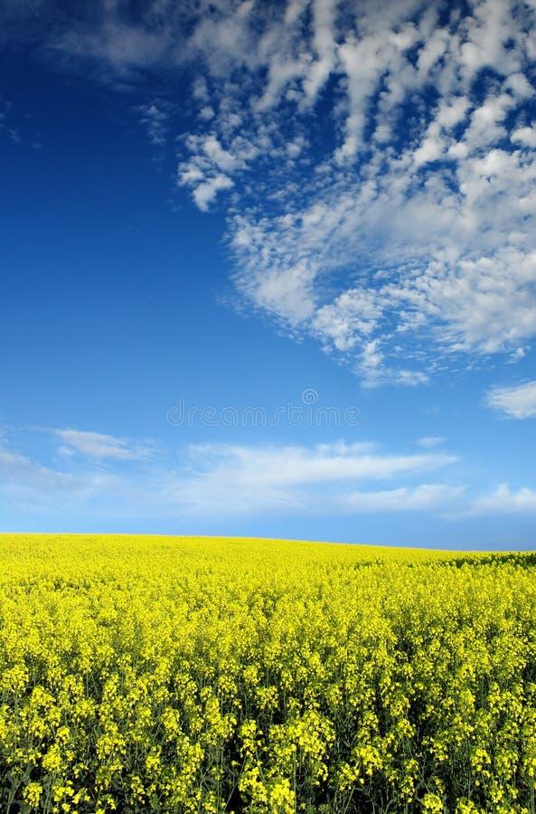 поле canola стоковое изображение rf