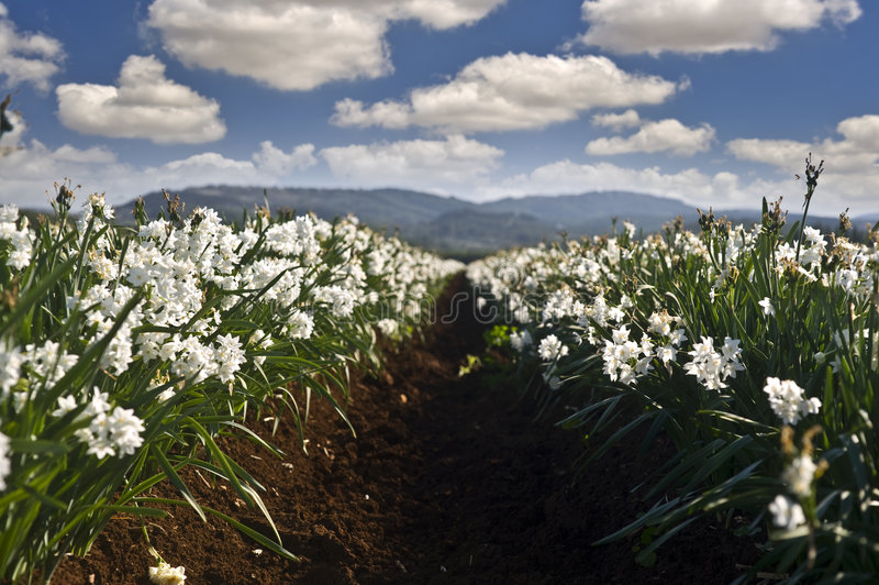 поле daffodils стоковое изображение rf