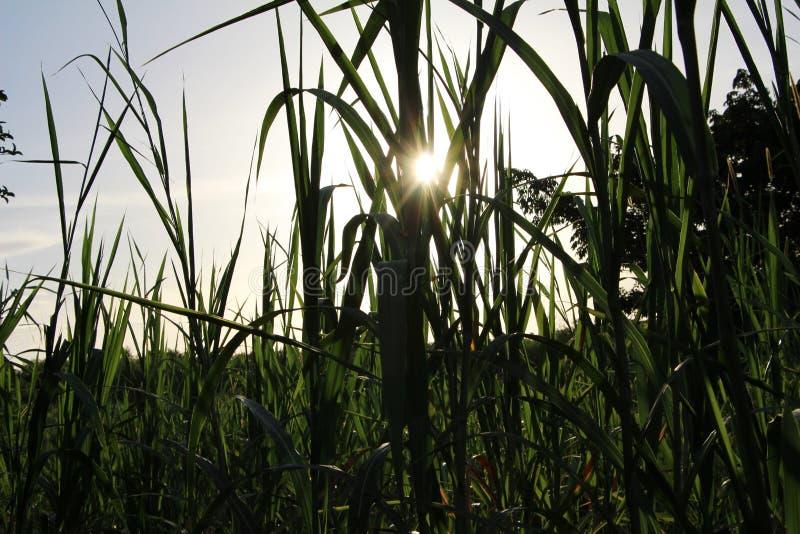 Поле Maiz близко к Леону Никарагуа стоковое фото