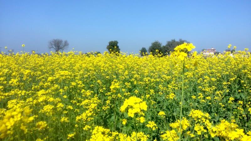 Поле mustered урожая и цветка в пути sialkot Пакистана стоковая фотография rf