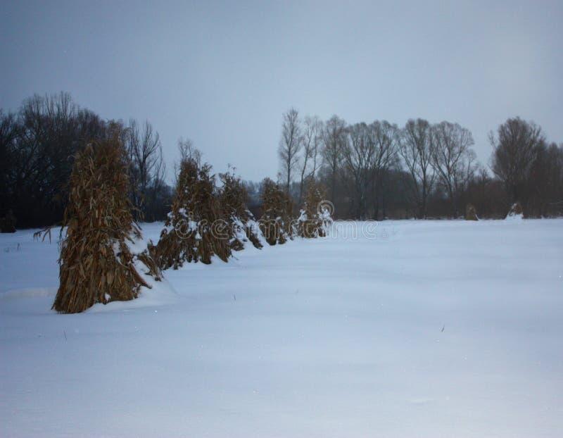 Поле Snowy со снопами маиса стоковое изображение rf