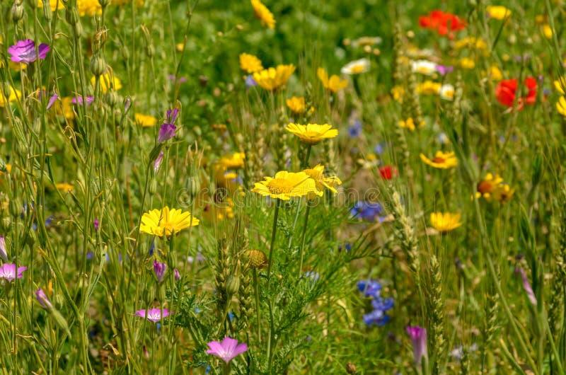 Поле Summerly одичалых цветков стоковая фотография rf