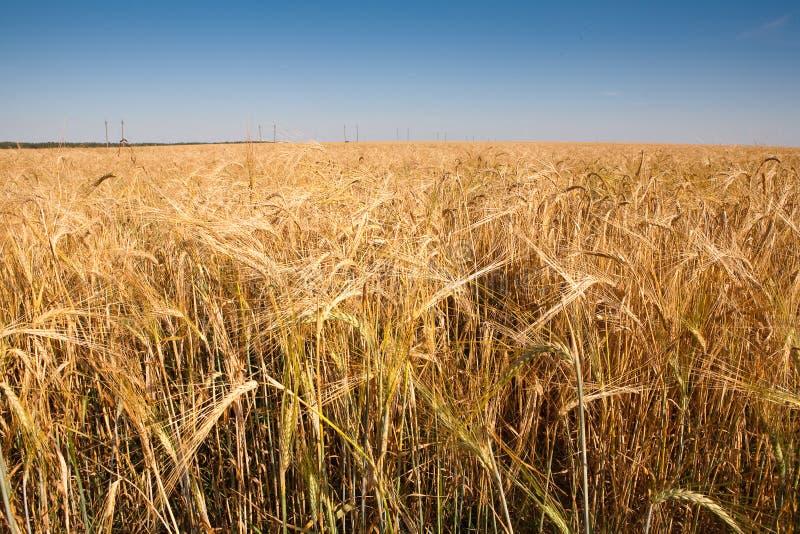 поле wheaten стоковая фотография