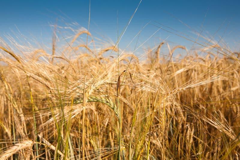 поле wheaten стоковое изображение