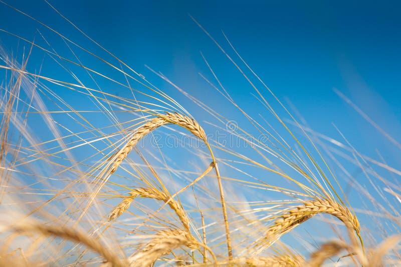 поле wheaten стоковые фотографии rf