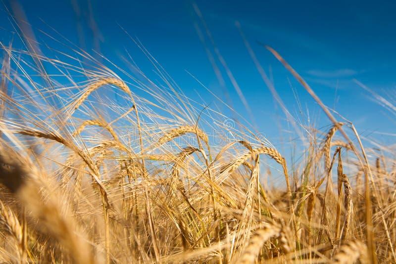 поле wheaten стоковая фотография rf