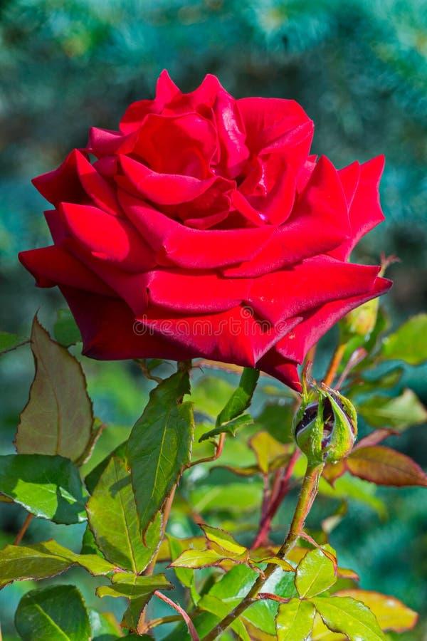 Полная, яркая роза красного цвета с лепестками сочных, бархата и колючими терниями стоковые фото
