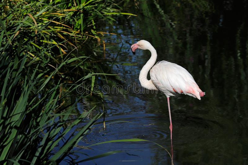 Полное тело цвета плам птицы фламинго wading на озере стоковая фотография
