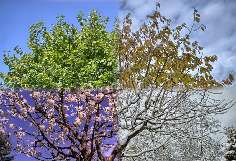 Полностью дерево 4 сезонов в одном фото стоковые фотографии rf