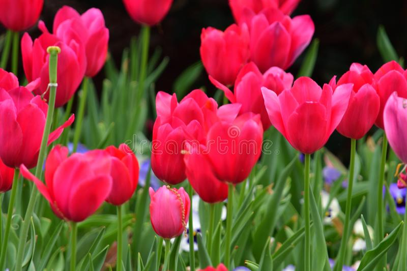Полностью зацветенный красный тюльпан стоковые фото