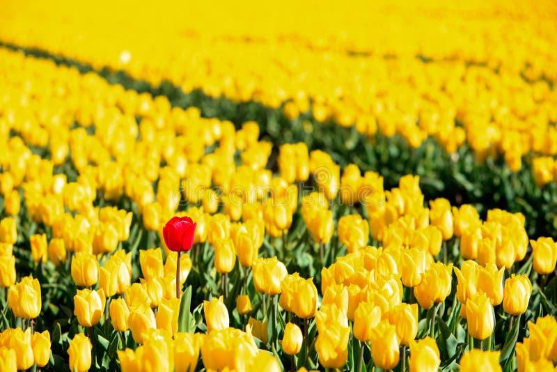 полностью один желтый цвет тюльпанов красного цвета стоковая фотография