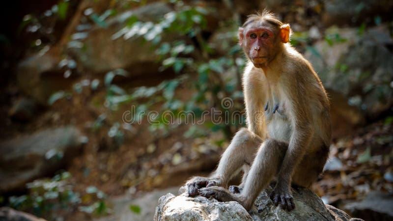 Полно- обезьяна взгляда на лесе стоковые фото