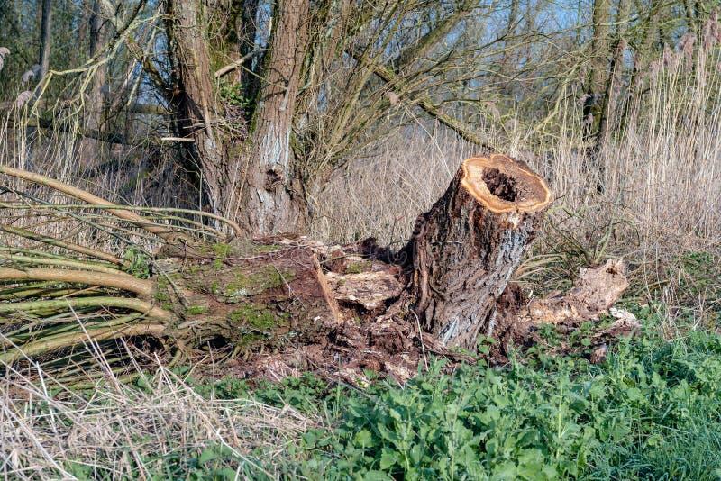 Полно покрыл старое дерево вербы Полларда в заповеднике стоковое изображение
