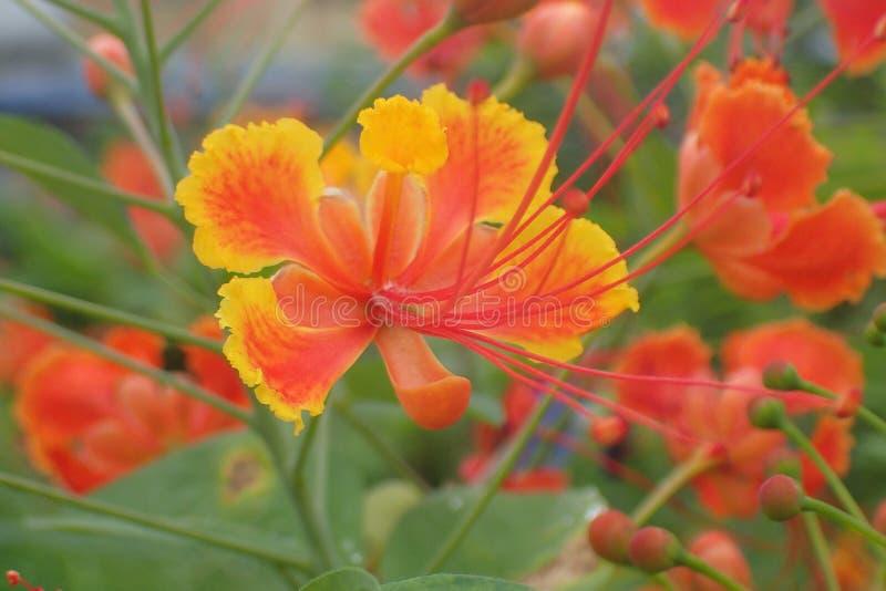 Полно цветок павлина цветеня стоковая фотография rf