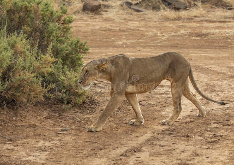 Полный портрет тела женского льва, пантеры leo, идя в грязную улицу по мере того как она охотится стоковое фото
