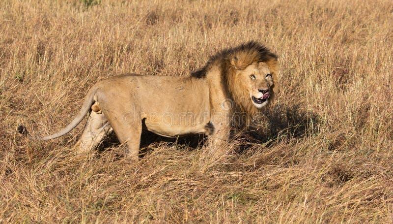 Полный портрет тела мужского льва, пантеры leo, в профиле лижа его губы стоковое изображение rf