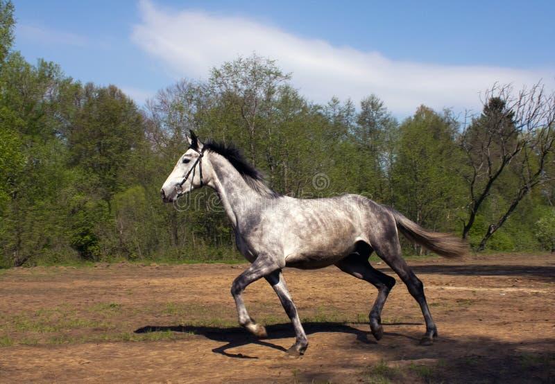 полный ход gallop стоковые изображения rf