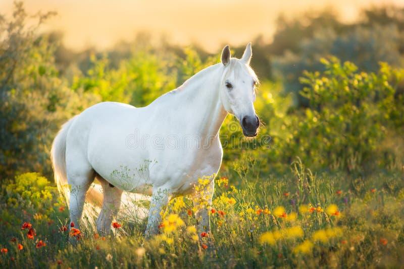 Положение белой лошади в свете захода солнца стоковое изображение