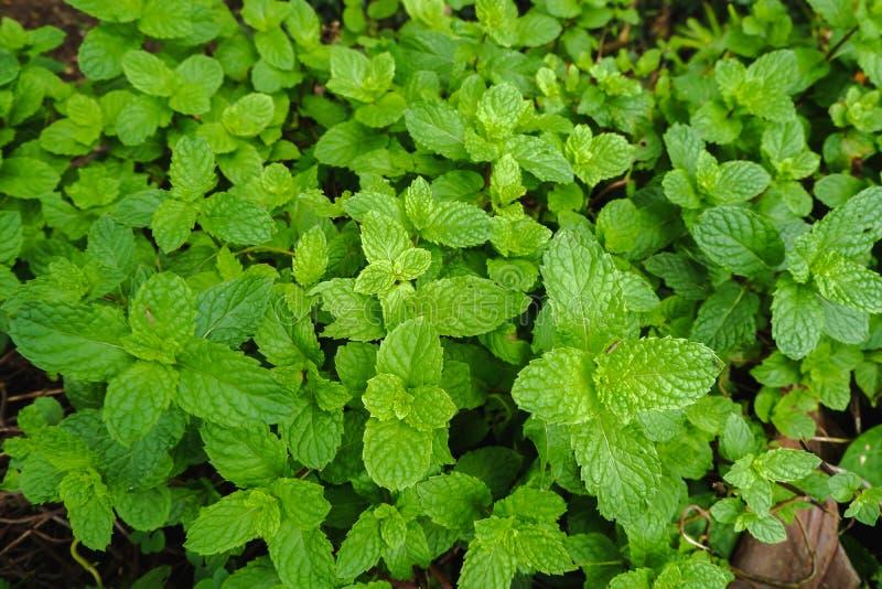 Положение взгляда сверху плоское зеленого цвета longifolia Mentha мяты выходит текстурированный стоковое фото