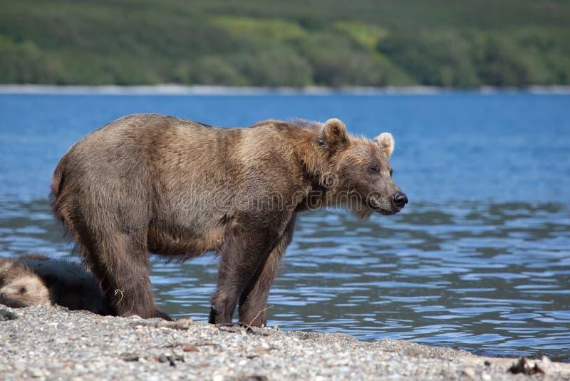 Положение гризли медведя ослабляя с милые новички медвежоат на озере стоковая фотография
