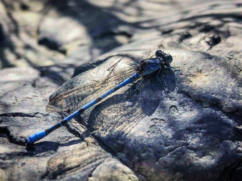 Положение крупного плана Dragonfly на утесе стоковая фотография
