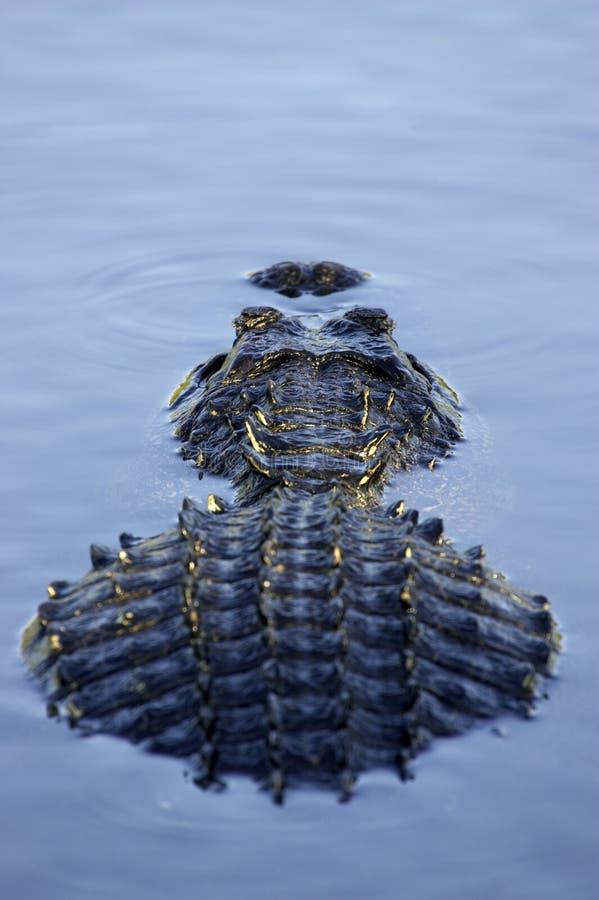положение национального парка florida болотистых низменностей аллигатора частично погрузило США в воду стоковая фотография rf