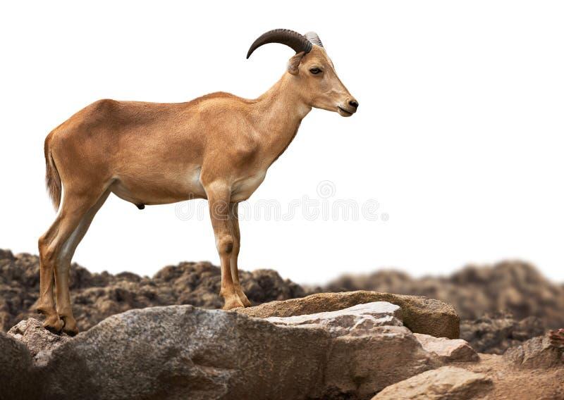 Положение овец Barbary на изолированном каменном стоковая фотография rf