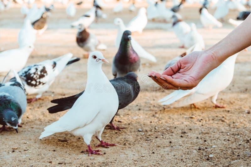 Положение питания еды голубя на человеческой руке Женщина кормит голубей стоковое фото
